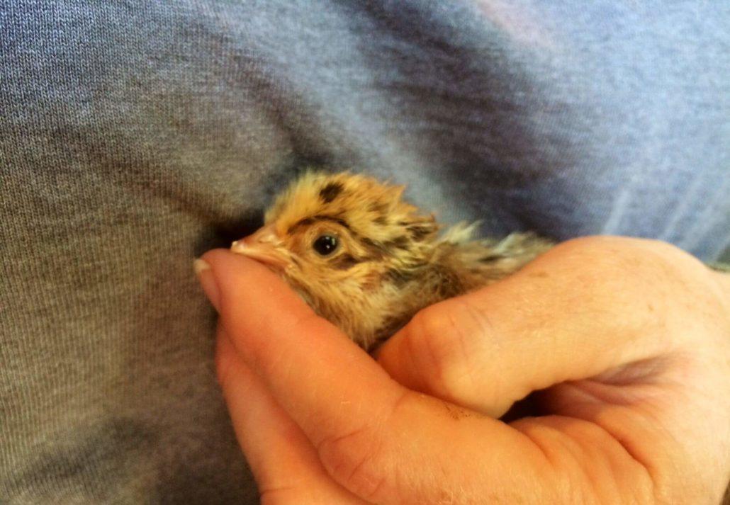 Shaddix Chickens Baby Chick