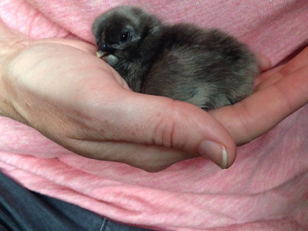 Shaddix Chickens Baby Chick Gray